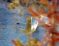 Trumpeter Swan in Autumn's Passing - Yellowstone NP, Wyoming