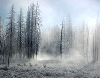 Flock in a Frozen Forrest - Yellowstone NP, Wyoming