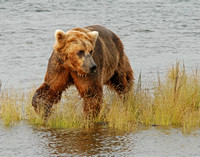 Shoreline Searcher - Katmai NP, Alaska
