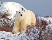 Northern Majesty - Churchill, Manitoba, Canada
