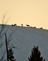 Blacktail Pack - Yellowstone NP, Wyoming