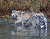 The River Patrol - Grey Wolves, West Lafayette, Indiana